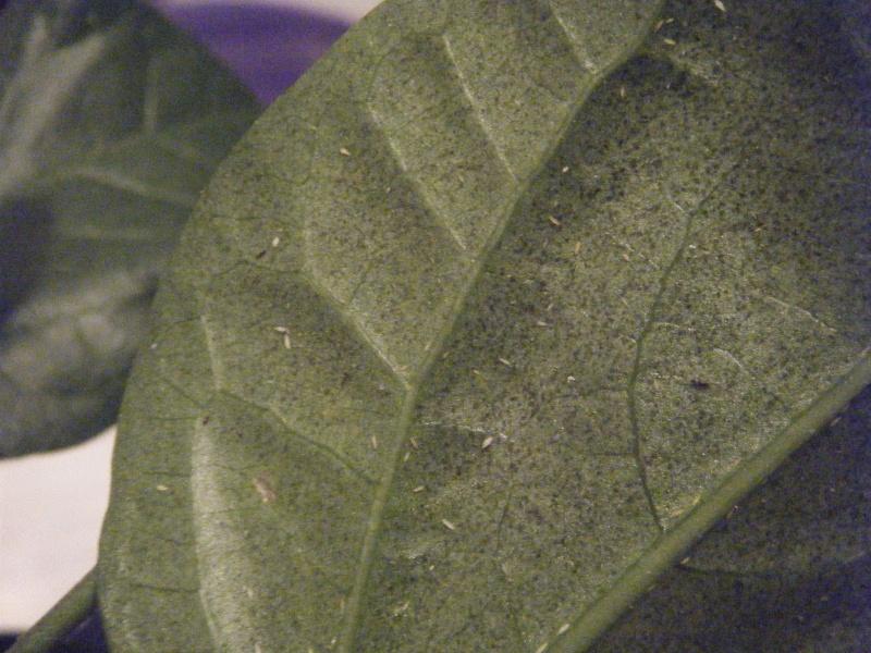 Mon Hibiscus Contamin Au Jardin Forum De Jardinage