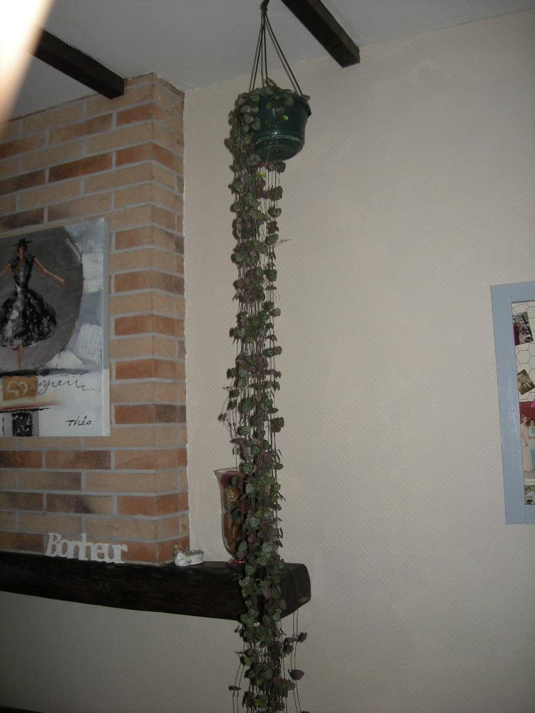 Mes plantes d 39 int rieur for Chaine de coeur plante entretien