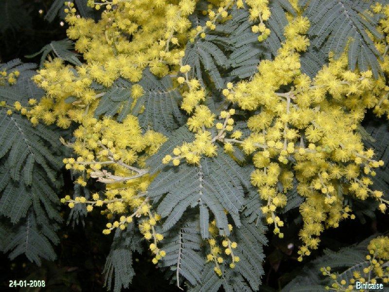 Binic et les mimosas. dans Bretagne p1243010