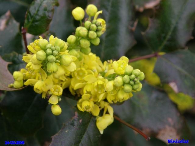 Mahonias. dans Fleurs et plantes p2243416