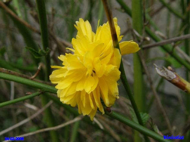 Corète du Japon. dans Fleurs et plantes p2243419