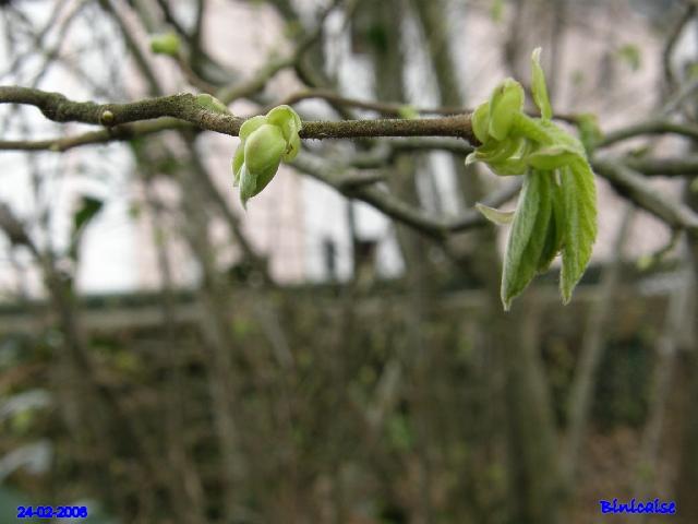 Jeunes pousses 2008. dans Fleurs et plantes p2243422