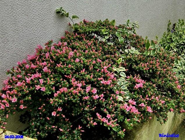 Azalée . dans Fleurs et plantes p2243426