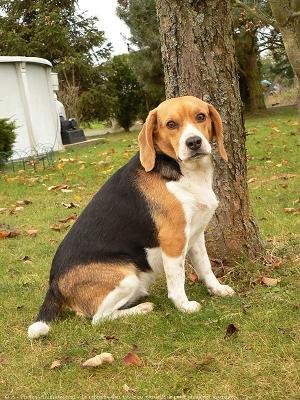Le beagle un anglais - Beagle adulte ...