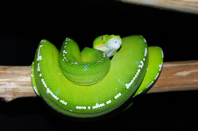 Morelia Viridis Breeders Beautiful Morelia Viridis
