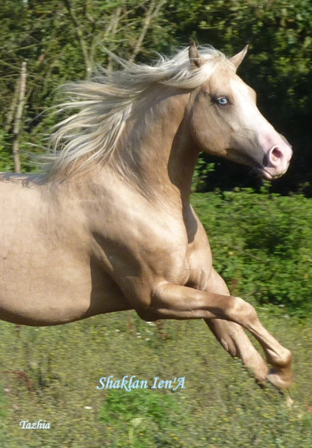 cheval arabe palomino a vendre