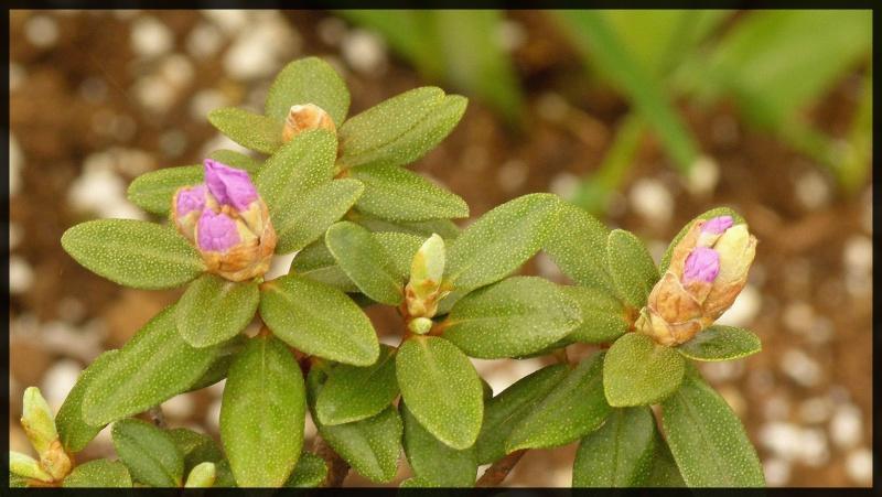 Rhododendron pulple gem nain pratiquement pas de floraison - Rhododendron ne fleurit pas ...