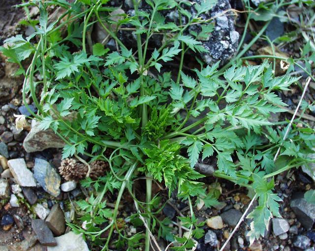 Petite ciguë - Aethusa cynapium