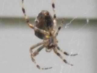Brown Spiders in Wisconsin http://spiderzrule.nicetopic.net/t74-please-help-me-identify-spider-in-wisconsin