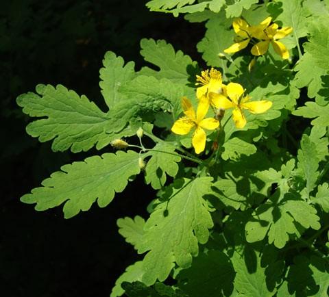 Chelidoine ou plante a verrue for Ou acheter des plantes