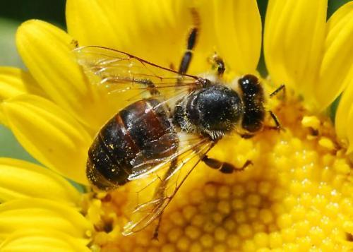 قرصة النحلة