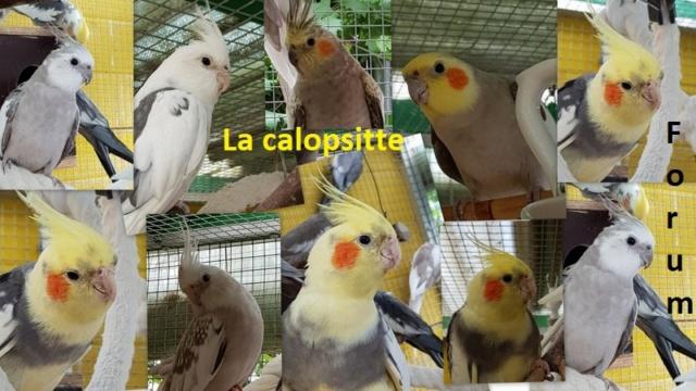 La Calopsitte